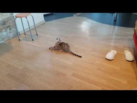 бенгальские котята, 1 месяц - YouTube