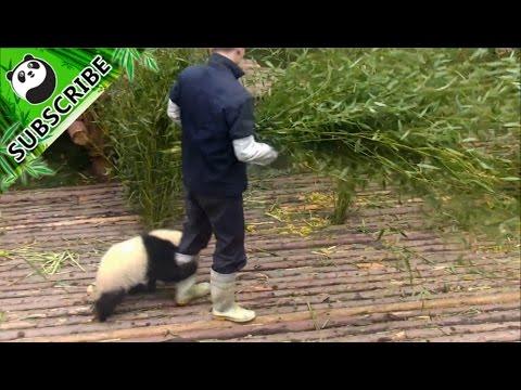 【Panda Top3】Nanny teaches you how to pet a panda
