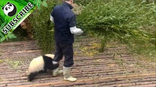 【Panda Top3】Nanny teaches you how to pet a panda thumbnail