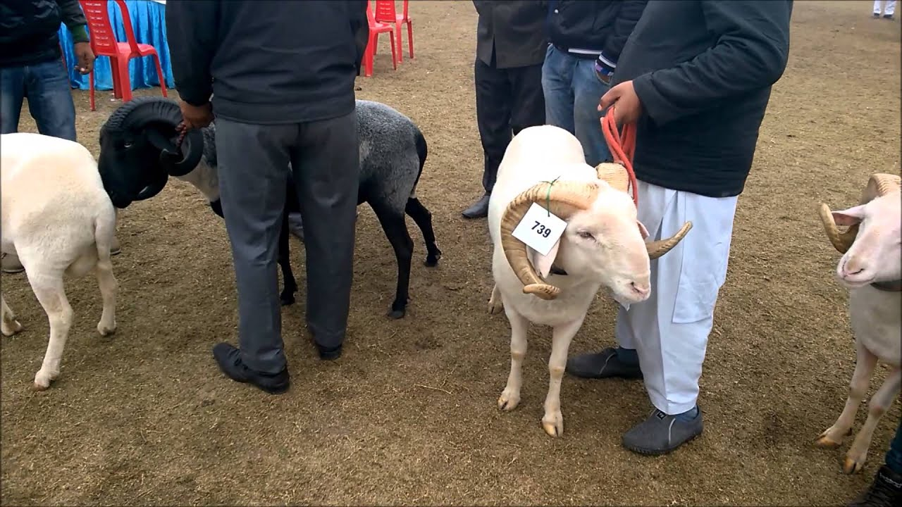 Balkhi (fat tailed sheep) and other exotic breeds of sheep at Livestock Show
