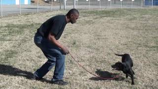 Guy Nashville Dog Trainer 011: Basic Obedience; Teaching A Lab Basic Obedience