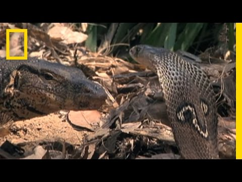Cobra vs. Monitor Lizard | National Geographic