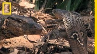Cobra vs. Monitor Lizard   National Geographic