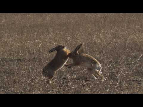 Two European hares (Lepus europaeus) boxing in a field, Germany, March.