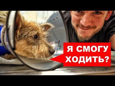 СОБАКА ПОТЕРЯЛА ЛАПУ (Но не потеряла любовь к жизни и людям) Ветеринарное ранчо на русском