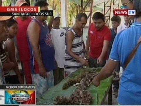 Malalaki at malalaman na sea urchin, tampok sa Maritangtang Festival sa Santiago, Ilocos Sur