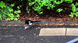 Elster frißt Spatz / Magpie eats Sparrow