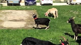 Rock'n chèvres à la Ferme de Chosal
