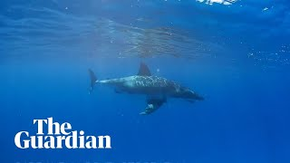 Great white shark calmly swims by snorkeller off Great Barrier Reef