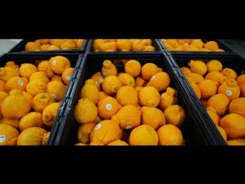 Sumo Citrus Mandarins - Harvest Footage