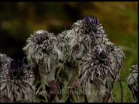 Saussure flower in Uttarakhand alpine meadow
