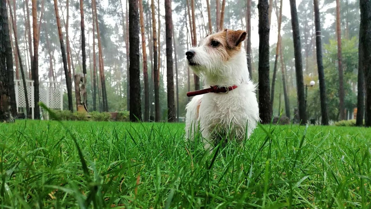 DOG and RAIN. Dog walking in the park / Funny dog / Funny Jack Russell Terrier Hilda