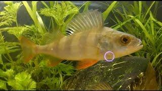 Из водоема в аквариум. Или как приручить речную рыбу.