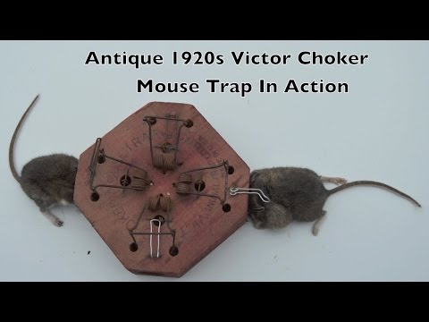 Antique Choker Mouse Trap In Action and a Huge Parasitic Bot Fly Maggot.