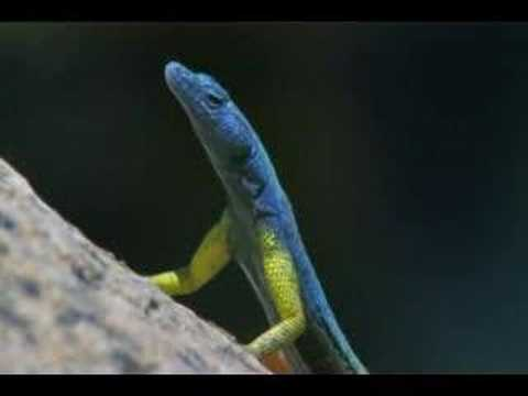 Planet Earth(2006) Flat Lizards Feeding thumbnail