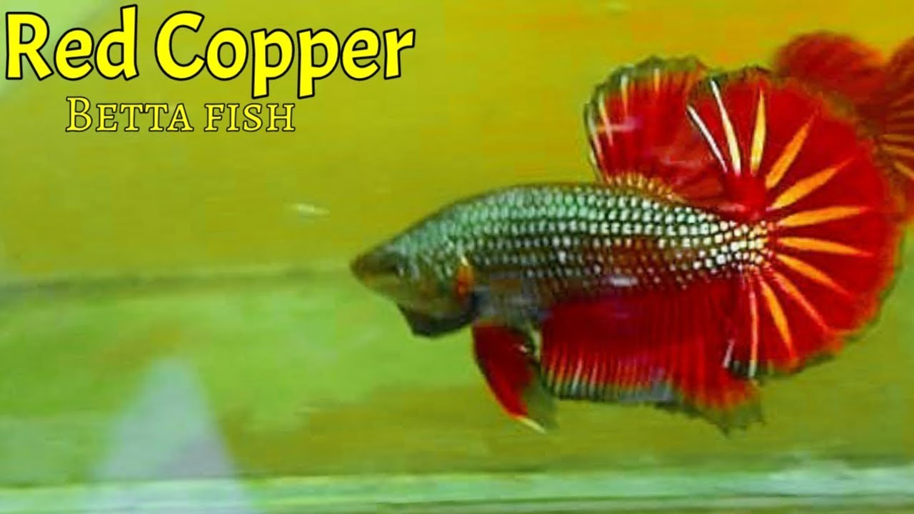Ngabisin Duit Ikan Cupang Hias Red Copper Youtube