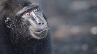 Black Crested Macaques in their morning routine 2