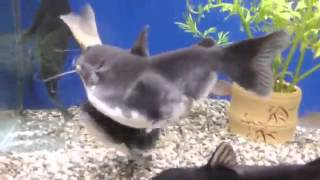 Cat fish swallows another fish the same size