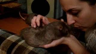 Крысы-Мальчики и девочки, кого заводить?