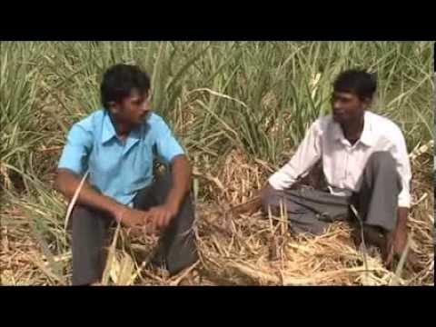 Mulching in sugar cane crop Kannada BAIF Karnataka