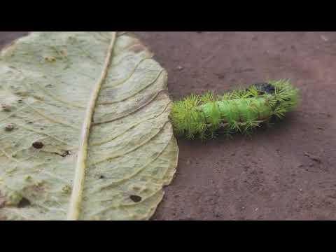 gusanos verdes peludos