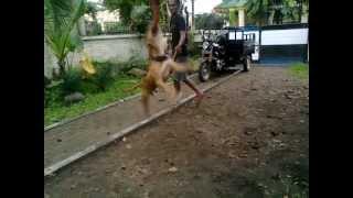 Dijual Anjing American Pit Bull Terrier