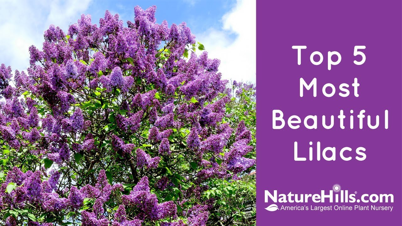 Top 5 Most Beautiful Lilacs