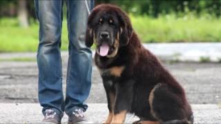 Kailas Dogs Bercut - продажа ТИБЕТСКИХ МАСТИФОВ