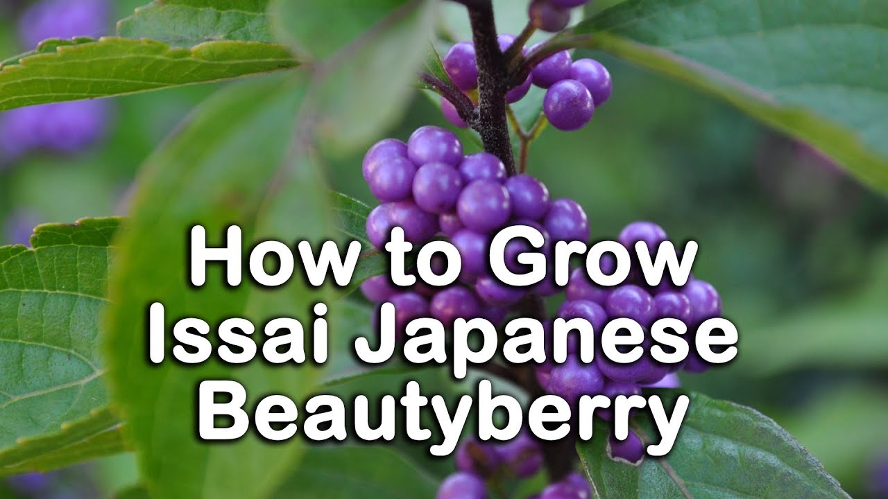How To Grow Japanese Beautyberry Issai Beautyberry Callicarpa