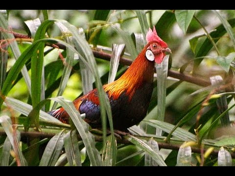 4 Types of Forest Rare Chicken in the World