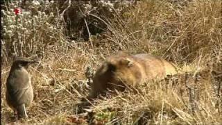Äthiopischer Wolf - ein Rattenjäger
