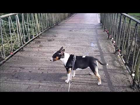 Miniatur Bullterrier überquert eine Brücke
