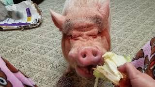 SAMMY THE HAMMY THE SMILING PIG!