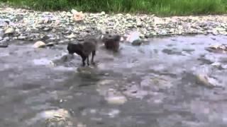 鬼ママは川向こうに居ます。 増水して流れのある川を必死に渡ってくる 長十桜。水は冷たく深みもあるのに 渡ってきてくれるわが子に感動。...