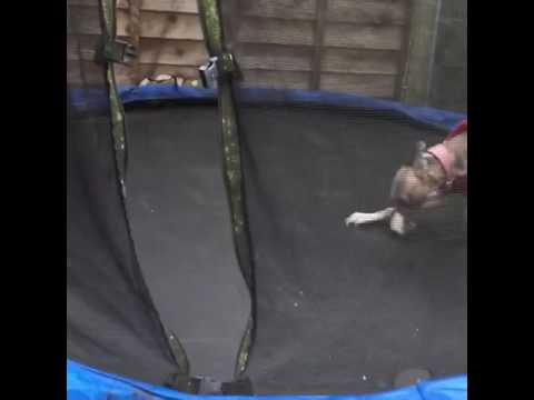 Crazy whippet on a trampoline 🤣