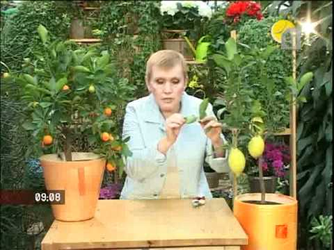 Как вырастить лимон дома