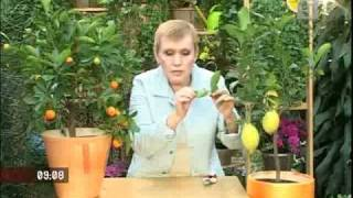 Как вырастить лимон дома(, 2010-11-29T15:31:37.000Z)