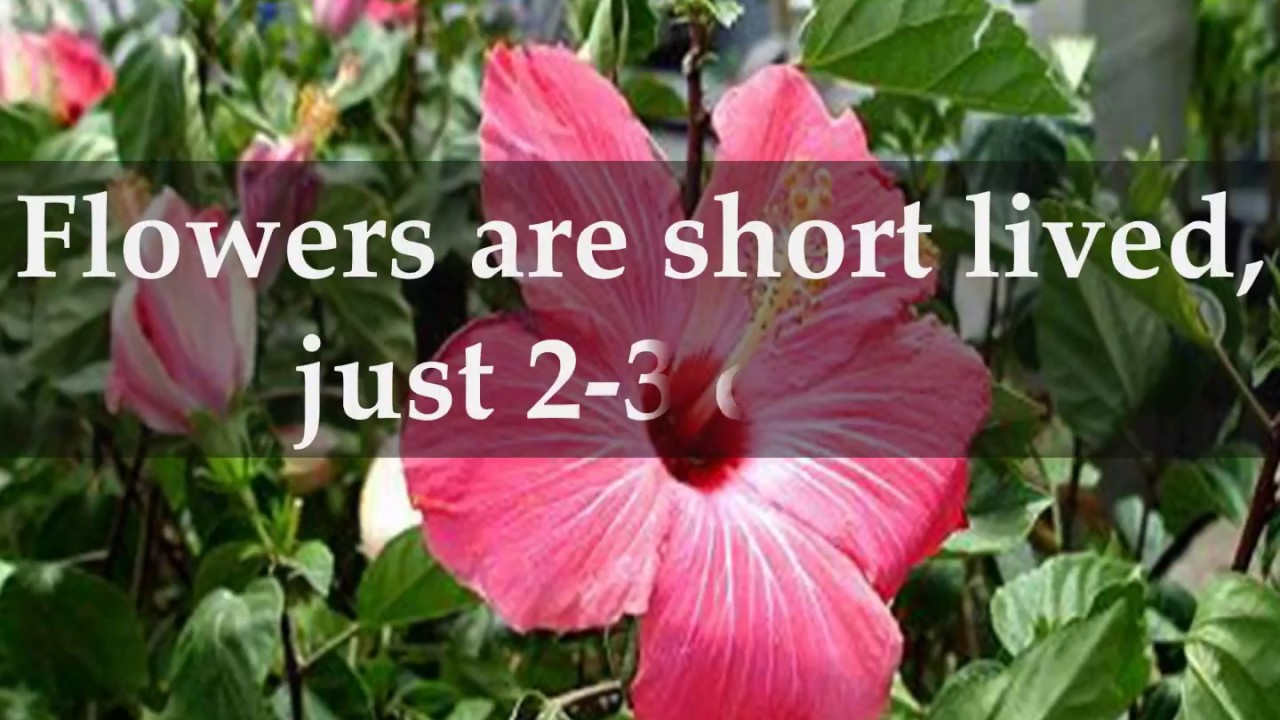 Facts about hibiscus shrubs youtube facts about hibiscus shrubs izmirmasajfo