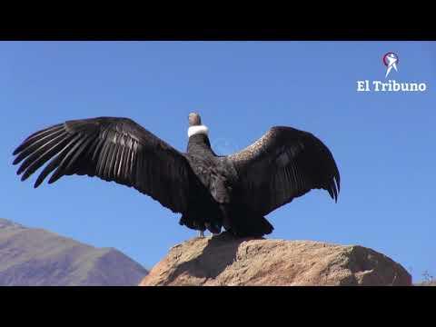 Liberaron al Cóndor, Qhawaq, ya vuela libre en la inmensidad de la cordillera