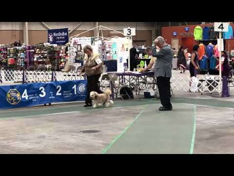 2019-08-09 Löwchen All Breed Judging Harrisburg, PA Keystone Cluster Dog Show Day 1
