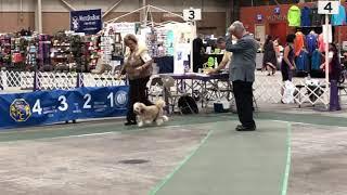20190809 Löwchen All Breed Judging Harrisburg, PA Keystone Cluster Dog Show Day 1