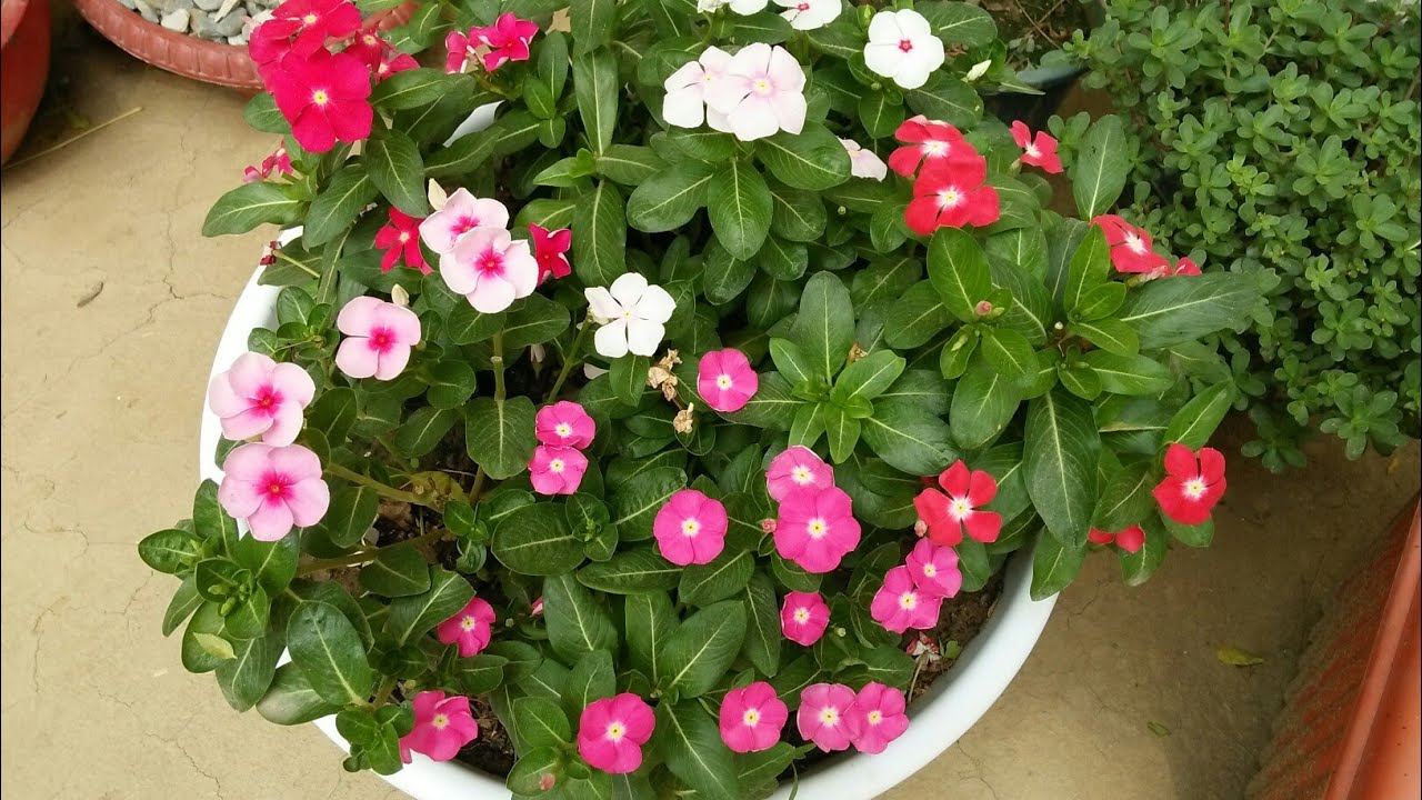 How to grow vinca /Rosea /periwinkle /sadabahar/plant In pot at ...