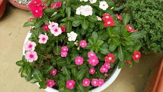 How to grow vinca /Rosea /periwinkle /sadabahar/plant In pot at home