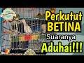 Perkutut Betina Manggung Suaranya Super Aduhai  Mp3 - Mp4 Download
