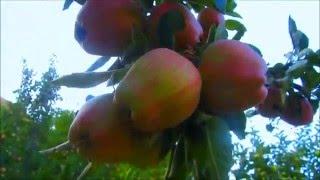 Яблони сад в Таджикистане, (2015)