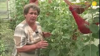 Анализ сортов дынь. Выращивание дыни в сетках
