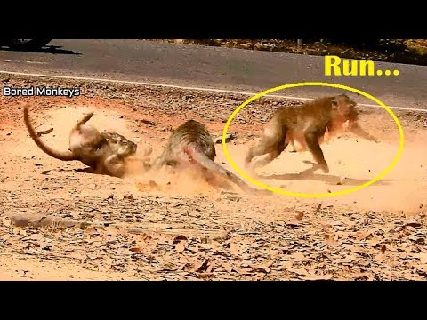 Run Big male monkey Run fast scare all female monkey attackingBravo female monkey
