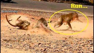 Baixar Run....! Big male monkey Run fast scare all female monkey attacking,Bravo female monkey!