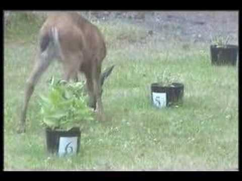 How to keep deer out of your garden - YouTube