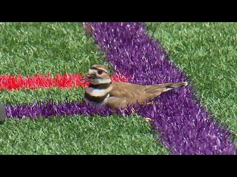 Soccer field shut down due to tiny bird and its eggs